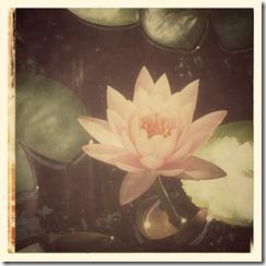 CherieShanti.com - Lotus