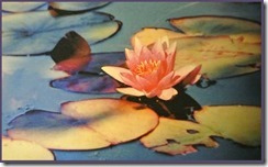 Lotus---cropped-frame4